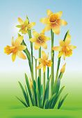 stock photo of jonquils  - Jonquils Art Illustration - JPG