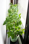 picture of tomato plant  - Young tomato plants in containers on a windowsill - JPG