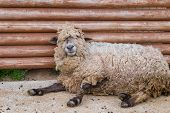 image of sleepy  - A dirty lazy and sleepy looking sheep - JPG