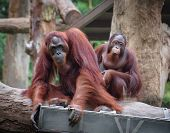 stock photo of orangutan  - Adult orangutans sitting with serious and thoughtful faces - JPG