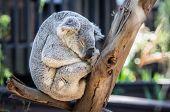 pic of wombat  - Soft gray koala bear rests in brown tree - JPG