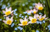 picture of forget me not  - Wild tulips Bakeri Lilac Wonder together with forget - JPG