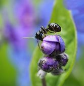 image of ant  - Black ant climbing in colorful spring garden flower bud - JPG