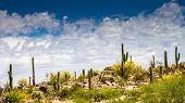 stock photo of cactus  - Ridge of Saguaro Cactus in Honeybee Canyon  Tucson - JPG