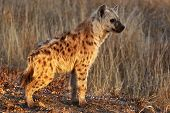 stock photo of hyenas  - A hyena cub photographed in the high grass of the Kruger National Park - JPG