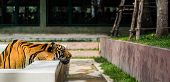 image of tigress  - Indochinese tiger putted head on the side of pool - JPG