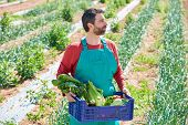 stock photo of orchard  - Farmer man harvesting vegetables in Mediterranean orchard field - JPG