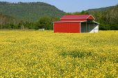 picture of red barn  - a red pole barn in a field of yellow buttercups - JPG