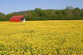 pic of red barn  - a red metal barn in a field of yellow buttercups - JPG