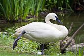 image of trumpeter swan  - A trumpeter swan rests standing on one foot near a pond - JPG