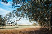 stock photo of eucalyptus trees  - Dry Western Australian farmland under bright blue cloudy sky framed by overhanging bough of wandoo  - JPG