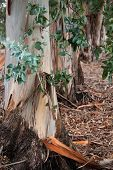 foto of eucalyptus leaves  - Leaves and trunks of Tasmanian Bluegums with peeling smooth bark making thick litter on the ground - JPG