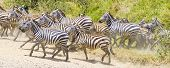 picture of great horse  - African zebras gallops at the great plains of Serengeti - JPG