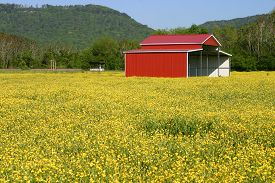 foto of buttercup  - a red pole barn in a field of yellow buttercups - JPG