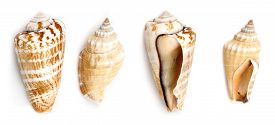 image of conch  - Shells of Strawberry conch  - JPG