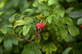 pic of wild-brier  - wild rosehip berry on branch with leaves - JPG
