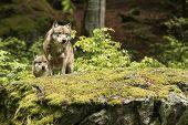 European Wolf, Europaeischer Wolf, Canis Lupus, Wolf, Czech Republic poster