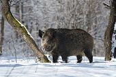picture of quadruped  - wild boar to a tree in winter - JPG