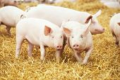 Постер, плакат: two young piglet on hay and straw at pig breeding farm