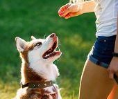 Dog motivational training. Trainer gives the husky a reward poster