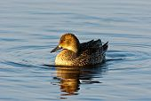 picture of pintail  - Northern Pintail  - JPG