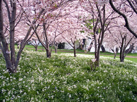 image of cherry blossoms  - bluebells under cherry blossom