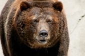 pic of grizzly bear  - mature grizzly bear walking towards the camera man - JPG
