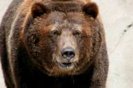 image of grizzly bear  - mature grizzly bear walking towards the camera man - JPG