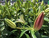 Medium Close Up View Of Several Unopened Asiatic Lily Buds In A Garden poster