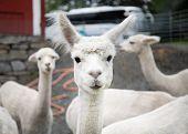 White Alpaca Lamb poster