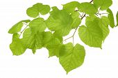 foto of tree leaves  - branch of tree which leaves are a good umbrella - JPG