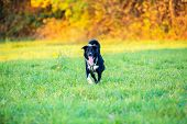 A Purebred Border Collie Dog Running Outdoors In Nature In Beautiful Sunset. Happy Dog Running In A  poster