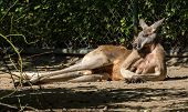 The Red Kangaroo, Macropus Rufus Is The Largest Of All Kangaroos, The Largest Terrestrial Mammal Nat poster