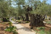 stock photo of gethsemane  - Garden of Gethsemane on the Mount of Olives - JPG
