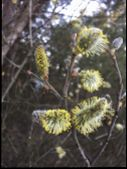 Pussy-willow Branch In Bloom In The Forest poster