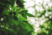 Vivid Leaves Of Trees On Bokeh Background. Rich Greenery In Sunlight With Copy Space. Lush Foliage C poster