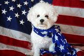 Bichon Frise with an American Flag. Forth of July with a small white dog. Mans best friend celebrate poster