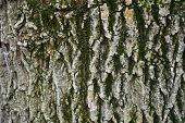 Shades Of Green Gray Color Background Of Wood Bark Texture With Very Deep Cracks. Rough Texture Of O poster