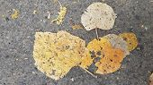 Flat Dry Crumbling Leaves On Rough Asphalt Road. Dirty Dusty Yellow Discolored Fall Leaves Closeup.  poster