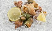 foto of whelk  - whelks with lemon on ice - JPG