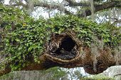 stock photo of tillandsia  - Resurrection ferns growing on a hollow oak limb - JPG