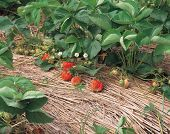 image of strawberry plant  - strawberry by leaves - JPG