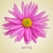 picture of a pink chrysanthemums and the word spring written in a beige background, with a retro eff
