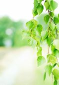 stock photo of birching  - Summer background with green leaves of birch - JPG