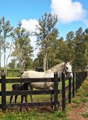 Thoroughbred white horse with a charming black colt. The rich country estate, with the special fence