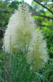 stock photo of pampas grass  - Cortaderia selloana pumila silver yellow plant pampas grass foliage - JPG