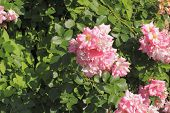 picture of climbing rose  - Flowering climbing rose (Rosa filipes) in a garden