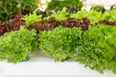 pic of hydroponics  - Hydroponics green vegetables in the home garden - JPG
