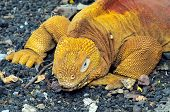 stock photo of darwin  - Land iguana Conolophus subcristatus part of a breeding program at the Charles Darwin Research Station Galapagos Islands Ecuador - JPG