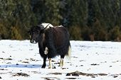stock photo of yaks  - After the blizzard, a yak are enjoying warm sunshine
